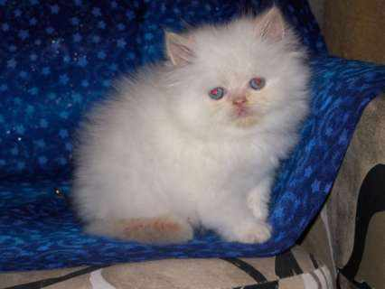 Cat , 6 Charming Persian Cat Rescue Los Angeles : Persian Rescue Groups