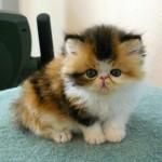 Persian Short Hair Kitten , 8 Good Short Haired Persian Cat In Cat Category
