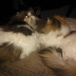 Persian Sisters , 9 Fabulous Persian Cats And Allergies In Cat Category