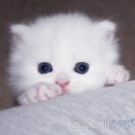 Persian Teacup Kittens , 9 Charming Tea Cup Persian Cat In Cat Category