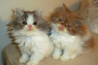 Persian And Himalayan , 9 Lovely Persian Cats For Sale In Indiana In Cat Category