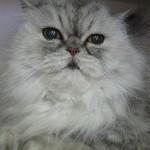 Persian cat , 8 Cute Persian Cat Behavior In Cat Category