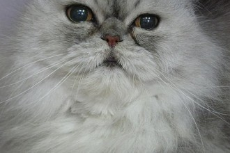 Persian cat in Spider