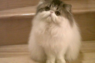 Persian cat breeder in pisces