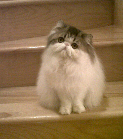 Persian cat breeder
