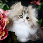 Persian cat breeders , 7 Cute Mini Persian Cats For Sale In Cat Category