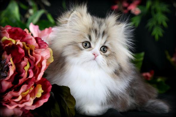 Cat , 7 Cute Mini Persian Cats For Sale : Persian Cat Breeders
