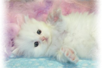 Persian Cat Color , 7 Gorgeous Doll Face Persian Cats For Sale In Cat Category