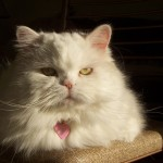 Persian cat picture , 5 Nice Persian Cat Hypoallergenic In Cat Category