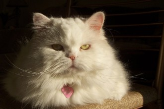 Persian cat picture in Genetics