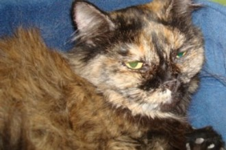 Persian Cat Rescue California , 10 Fabulous Persian Cat Rescue California In Cat Category
