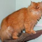 Persian cat rescue los angeles , 6 Charming Persian Cat Rescue Los Angeles In Cat Category
