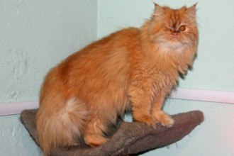 Persian cat rescue los angeles in Butterfly