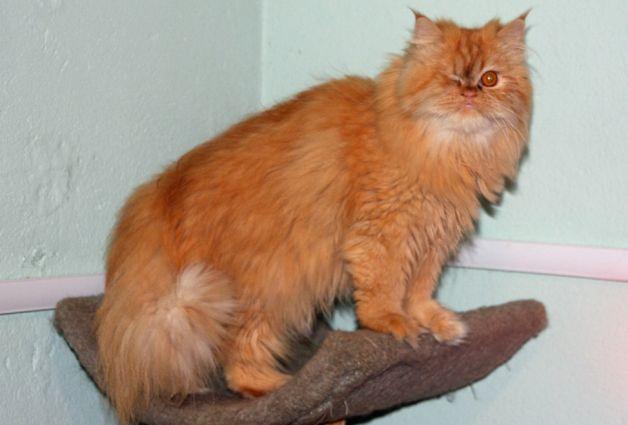 Persian cat rescue los angeles