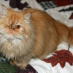 Persian cat rescue los angeles , 8 Fabulous Persian Cats Los Angeles In Cat Category