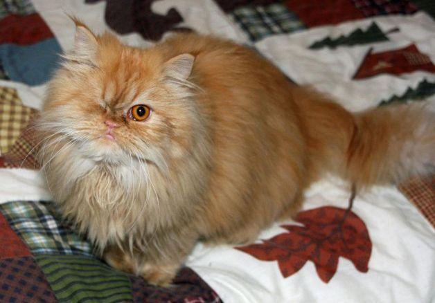 Cat , 8 Fabulous Persian Cats Los Angeles : Persian Cat Rescue Los Angeles