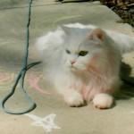 Persian cat rescue wisconsin , 10 Fabulous Persian Cat Rescue California In Cat Category