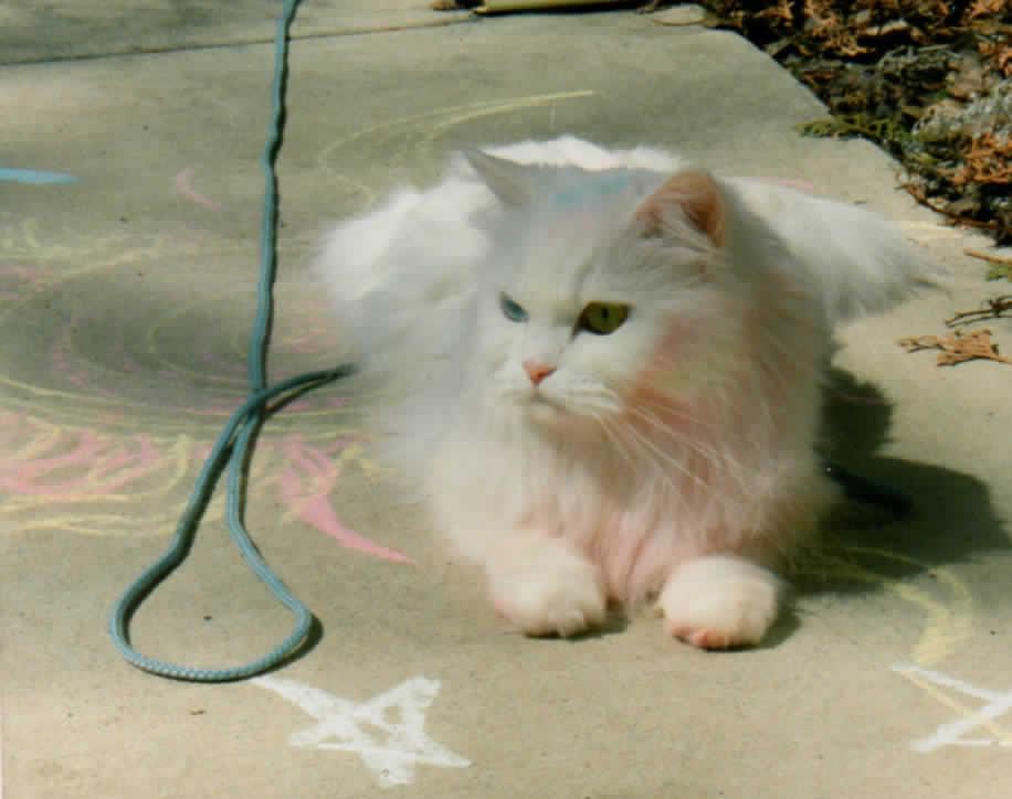 Persian cat rescue wisconsin