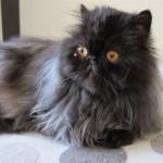 Persian cat rescue , 10 Fabulous Persian Cat Rescue California In Cat Category
