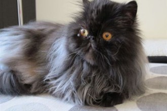 Persian Cat Rescue , 10 Fabulous Persian Cat Rescue California In Cat Category