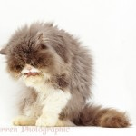 Persian cat washing , 8 Cute Grooming A Persian Cat In Cat Category