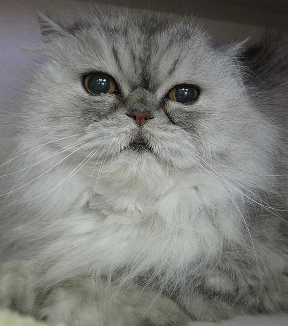 Cat , 8 Cute Persian Cat Behavior : Persian Cat