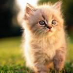 Persian cat , 7 Nice Persian Cat Life Expectancy In Cat Category