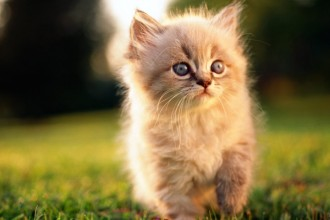 Persian Cat , 7 Nice Persian Cat Life Expectancy In Cat Category