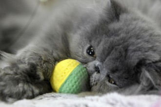 Cat , 7 Cute Persian Cat Lifespan : Persian cat