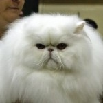 Persian cat , 5 Good Persian Cat Breeder In Cat Category