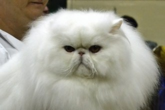Persian cat in Dog