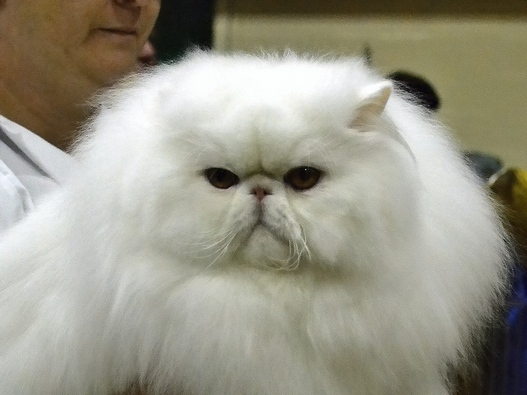 Cat , 5 Good Persian Cat Breeder : Persian Cat