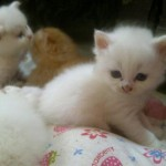 Persian cats for sale , 7 Gorgeous Doll Face Persian Cats For Sale In Cat Category