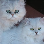 Persian chinchilla , 7 Charming Chinchilla Persian Cats In Cat Category