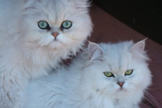Cat , 7 Charming Chinchilla Persian Cats : Persian chinchilla