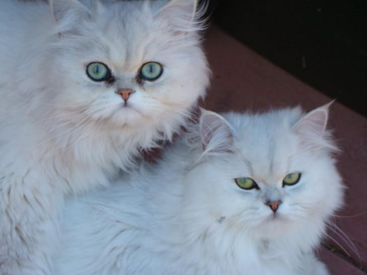Cat , 7 Charming Chinchilla Persian Cats : Persian Chinchilla