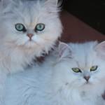 Persian chinchilla cat , 8 Lovely Persian Chinchilla Cat In Cat Category