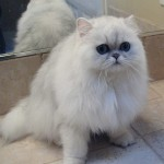 Persian chinchilla , 8 Lovely Persian Chinchilla Cat In Cat Category