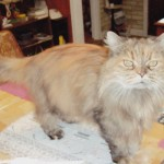 Persian himalayan , 9 Fabulous Persian Cats And Allergies In Cat Category