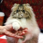 Persian kitten , 9 Good Grooming Persian Cats In Cat Category