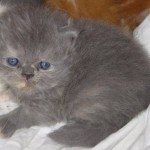 Persian kittens , 9 Charming Persian Cat Rescue San Diego In Cat Category