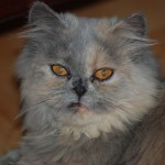 Persian kittens , 8 Cool Adopt A Persian Cat In Cat Category