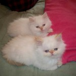 Persian kittens , 6 Lovely Himalayan Persian Cats For Sale In Cat Category