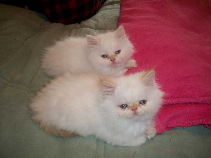 Cat , 6 Lovely Himalayan Persian Cats For Sale : Persian Kittens