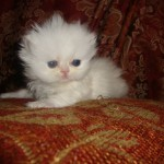 Persian kittens , 9 Lovely Persian Cats For Sale In Indiana In Cat Category