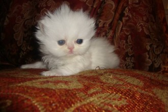 Persian kittens in Muscles