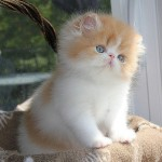 Persian kittens , 7 Charming Himalayan Persian Cat In Cat Category