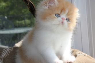 Persian Kittens , 7 Charming Himalayan Persian Cat In Cat Category