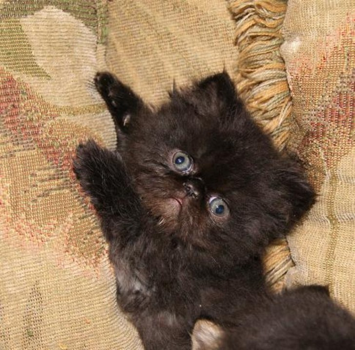 Cat , 4 Gorgeous Persian Cats For Sale In Phoenix : Persian Kittens