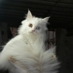 Persian male , 8 Good Persian Cat Health Problems In Cat Category
